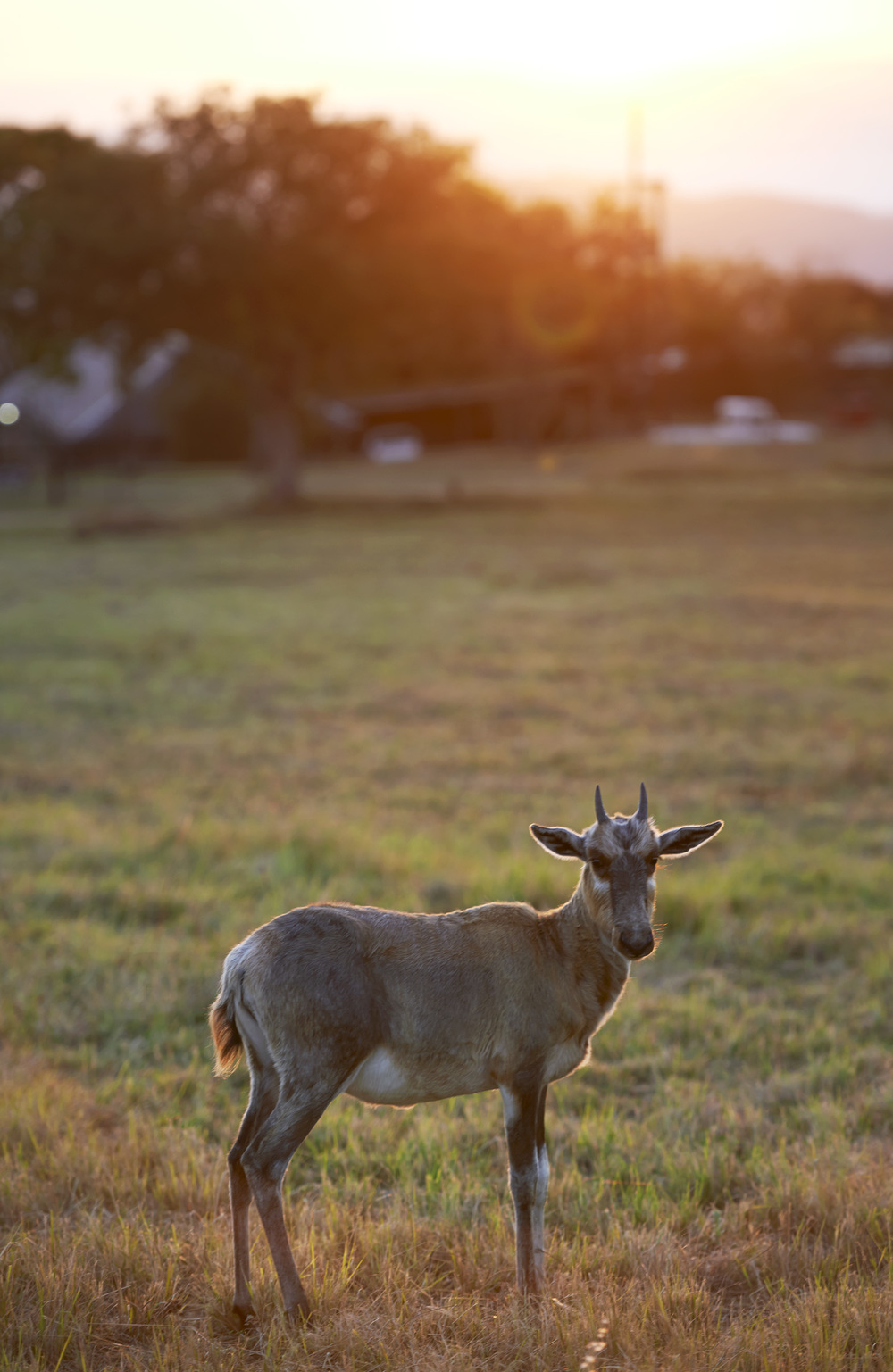 blesbok calf sunrise.jpg