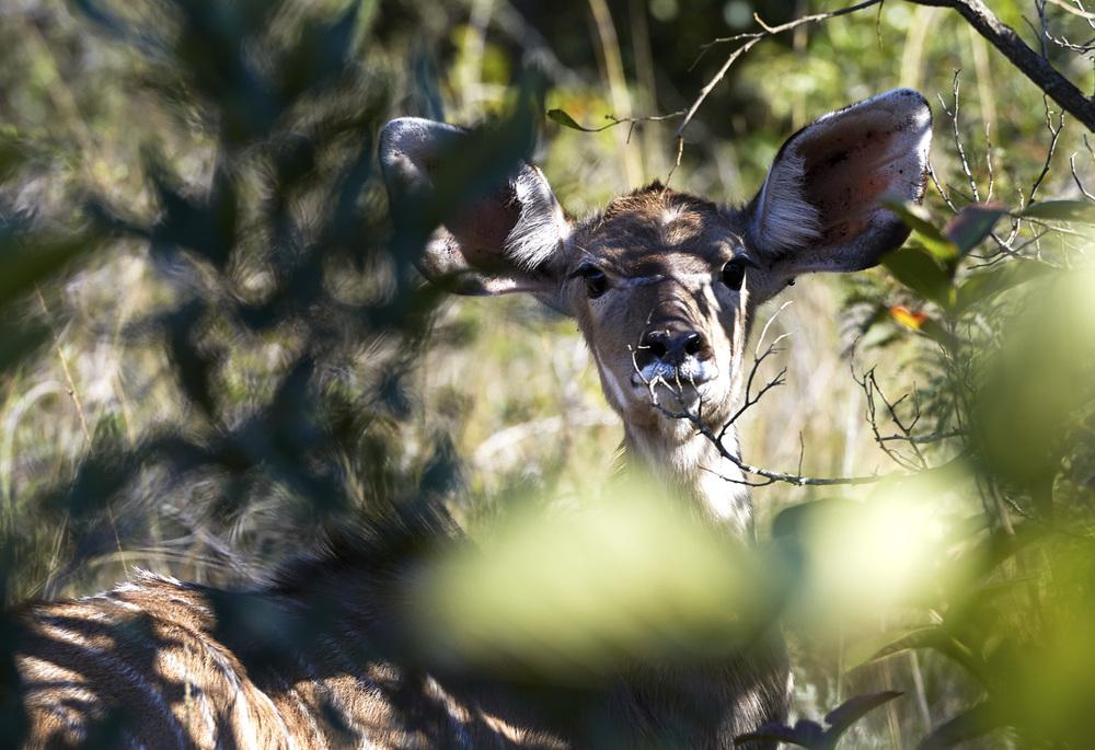 kudu calf.jpg