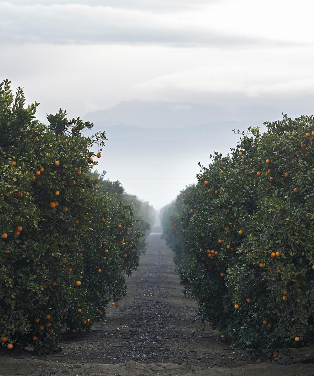 misty orange groves.jpg