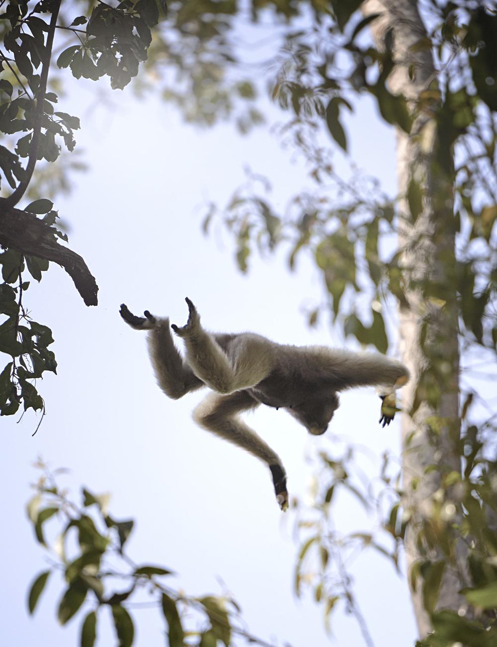 jumping gibbon.jpg