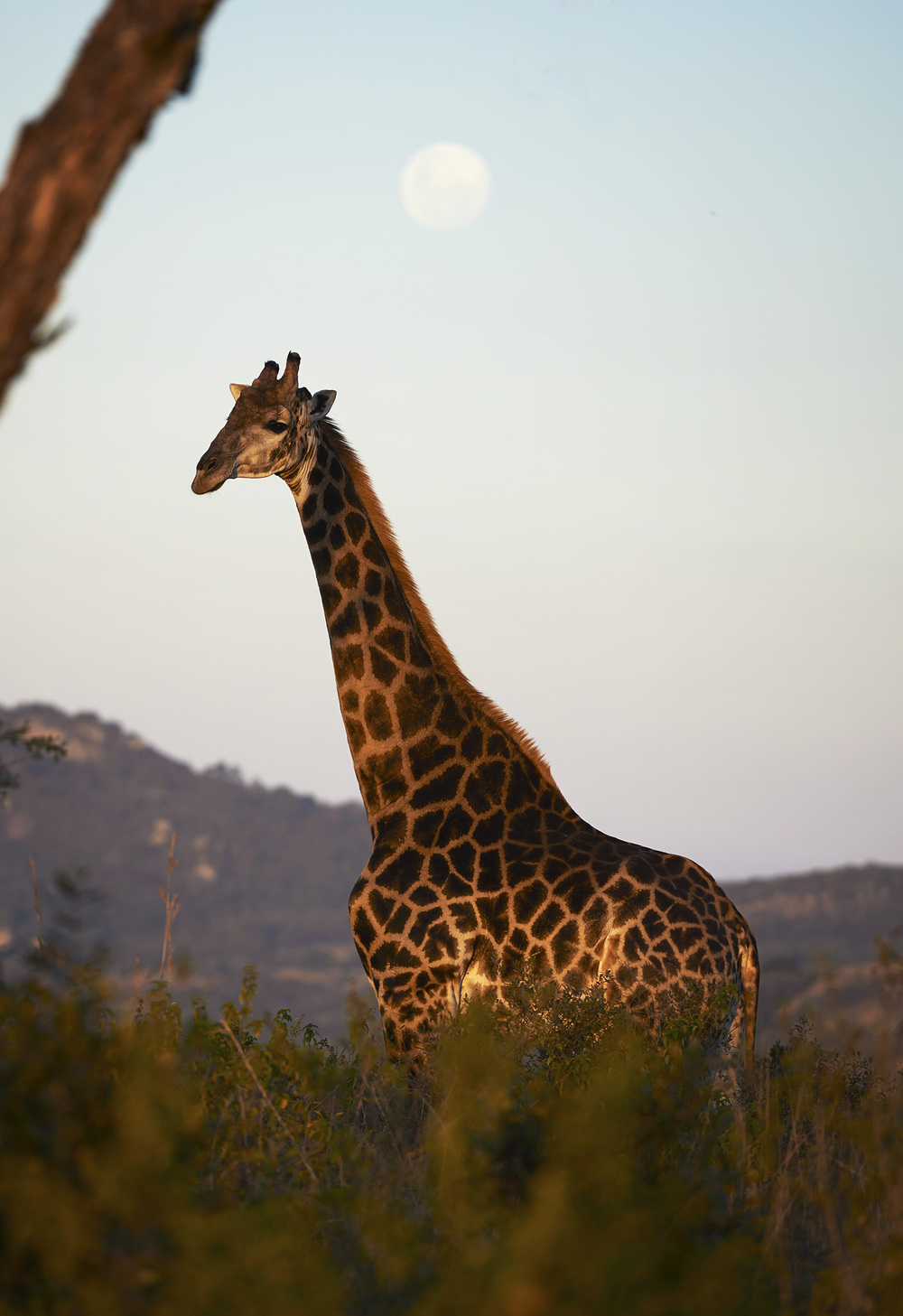 giraffe moon.jpg