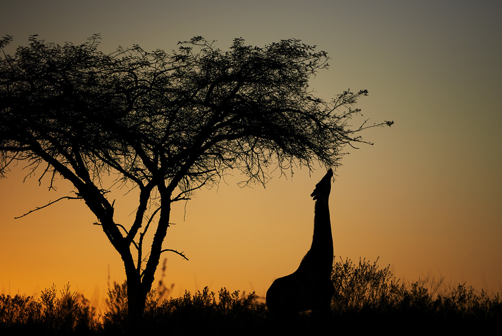 giraffe silhouette 3.jpg