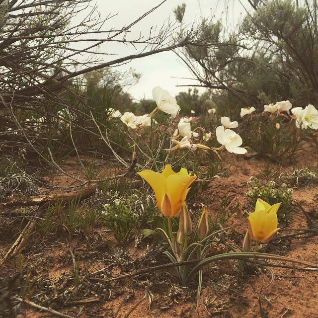 Evening Primrose & Mariposa Lily (  Calochortus kennedyi)