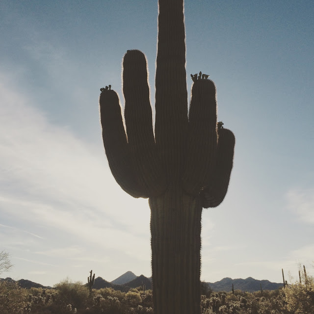 Saguaro  ( Carnegiea gigantea)