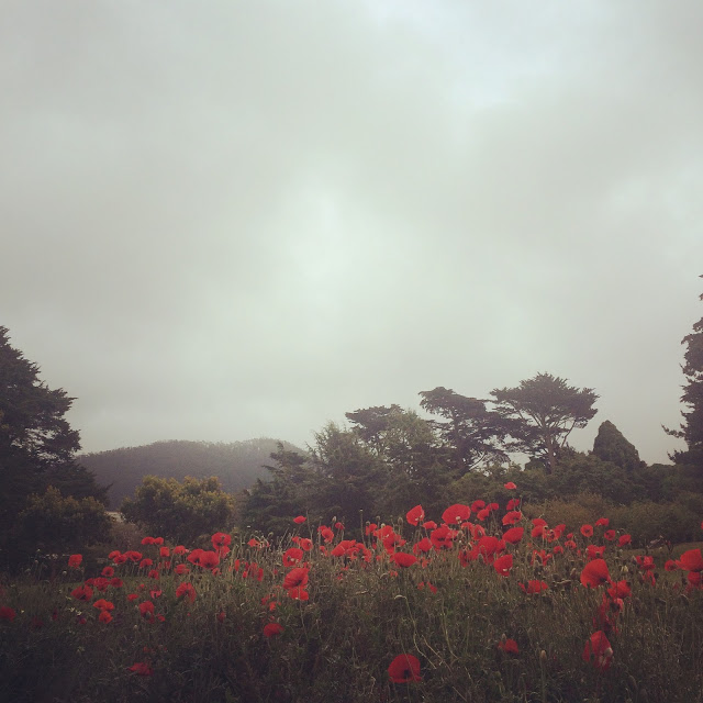 Red poppy (   Papaver rhoeas)