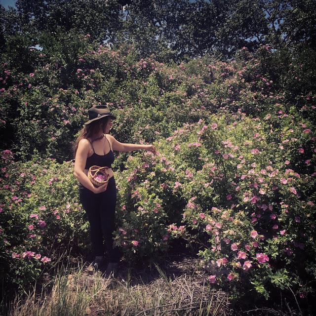 Wild Rose (  Rosa acicularis)