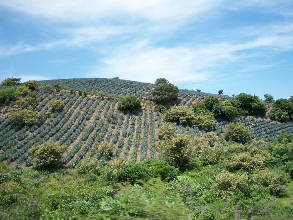 Agave farm with rows of agave plants