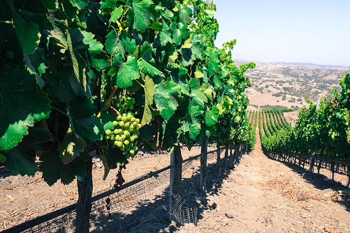 2015  Grenache Santa Barbara Co. | Grenache in John Sebastiano Vineyard.
