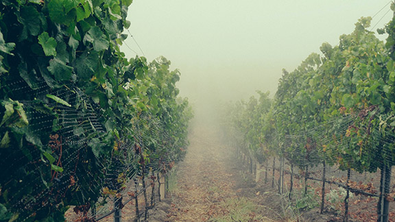 John Sebastiano Vineyard, 2012