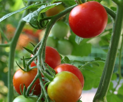 Tomatoes, Trellis House  Pack Detail   Tier/Layers      Qty/Pallet 20 lb box