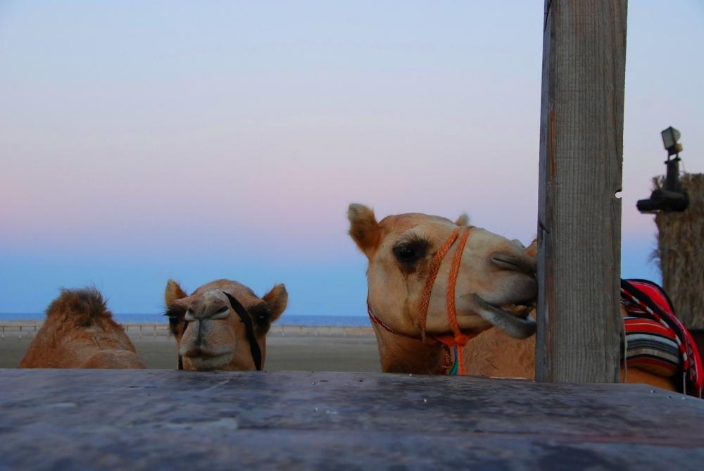 Camel chew.JPG