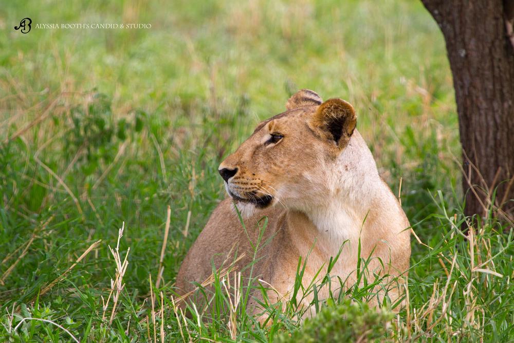 lioness Arusha