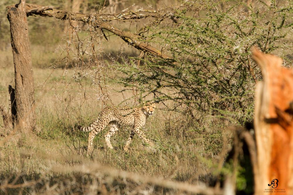 Cheetah Cub in Ndutu 2014
