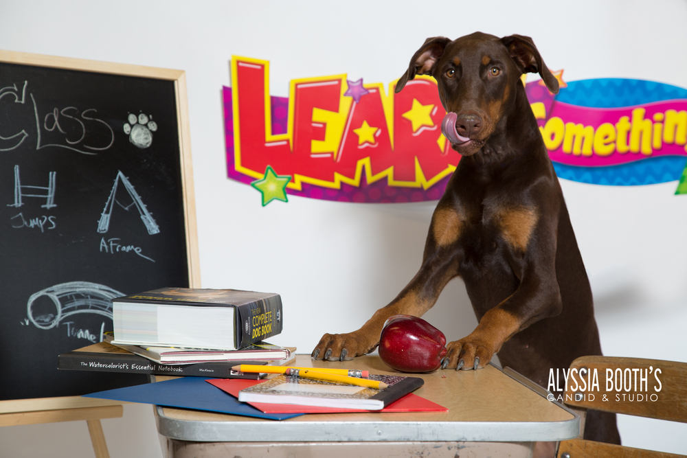 Doberman | Back To School | PetX Photo Day | Alyssia Booth's Candid & Studio | Michigan Pet Photographer