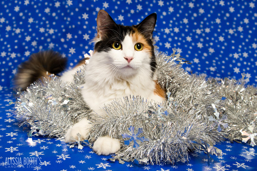 Alyssia Booth's Candid & Studio| Cats | Christmas