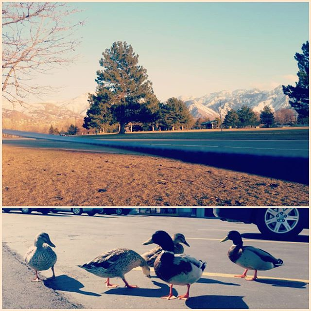Some days you just have to say screw it and blow off steam hanging out with ducks and slackining.  I like this town.  #saltlakecity #utah #visitsaltlake #duck #wildlife #slackline #slacklife #wanderlust #wandering #feelslikespring #slc #photooftheday #instagood #makingfriends