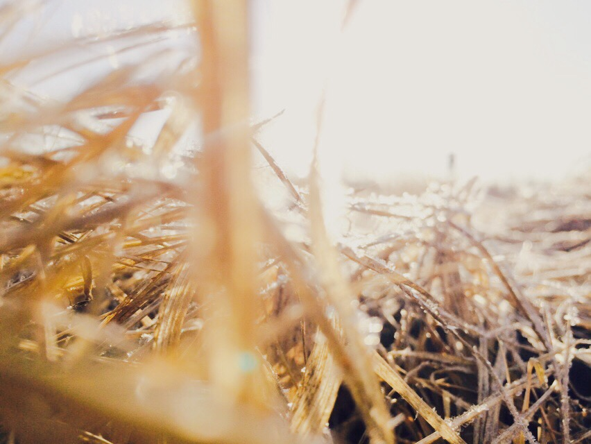 I absolutely love the gold grasses of spring.  Add the sparkle of morning frost and each blade of grass is a blessing.