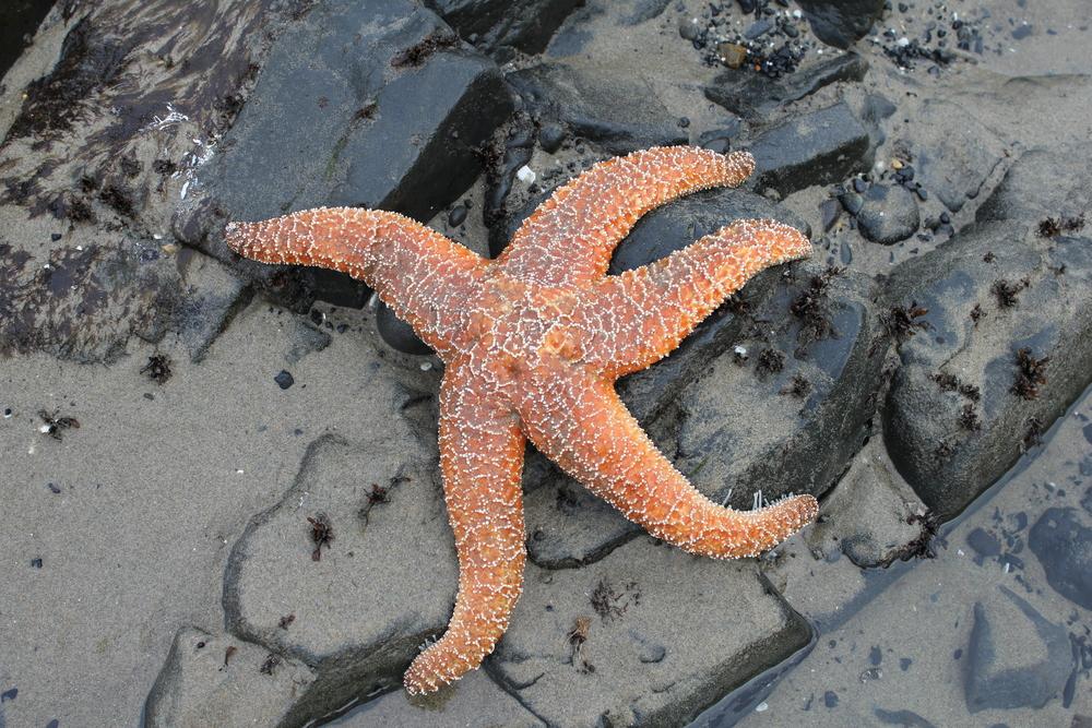 California Sea Star, Photo Credit: Liz Summit, 2010