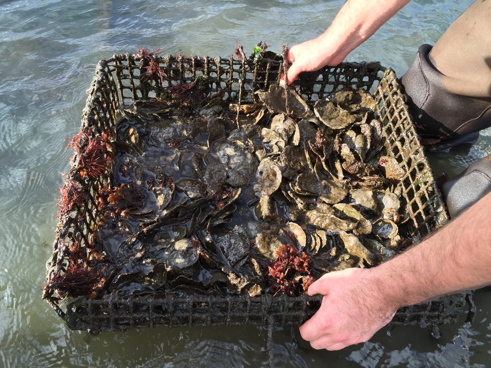 An Oyster Basket Ready for Monitoring, Photo Credit: Liz Summit, 2015