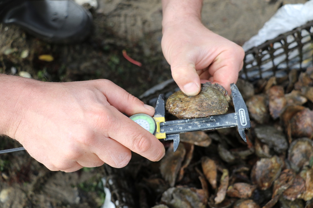 An Oyster in Calipers, Photo Credit: Liz Summit, 2015