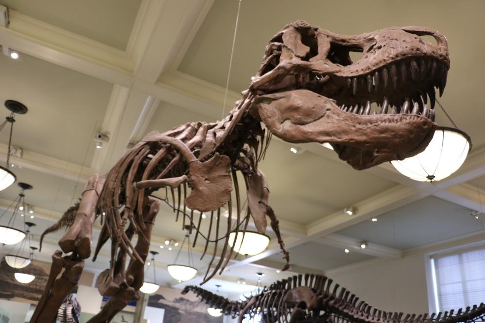 Tyrannosaurus Rex, American Museum of Natural History. Photo Credit: Liz Summit, 2016