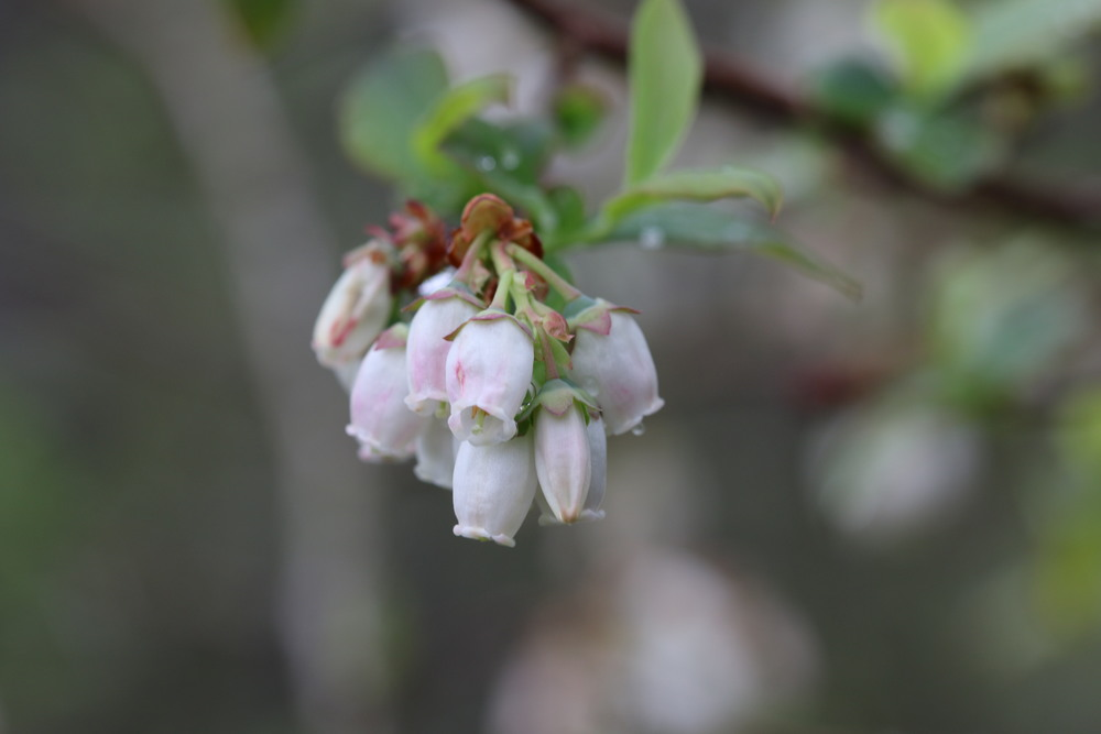 Blueberry Highbush, Great Swamp (New Jersey)