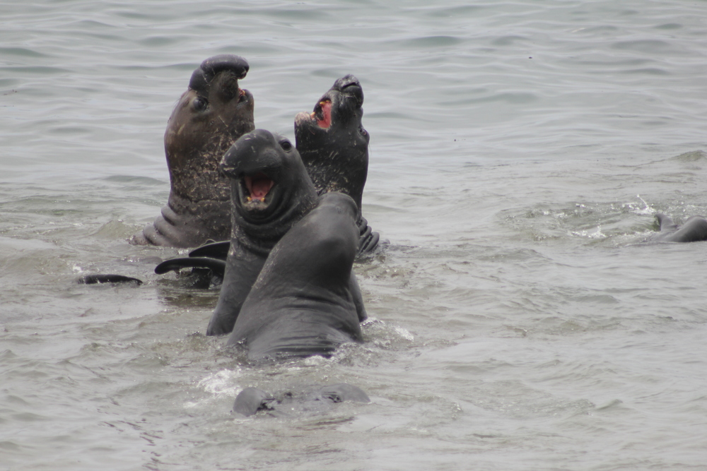 Northern Elephant Seals  Photo Credit: Liz Summit, 2015