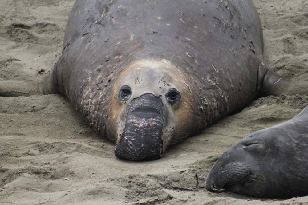 Northern Elephant Seal  Photo Credit: Liz Summit, 2015