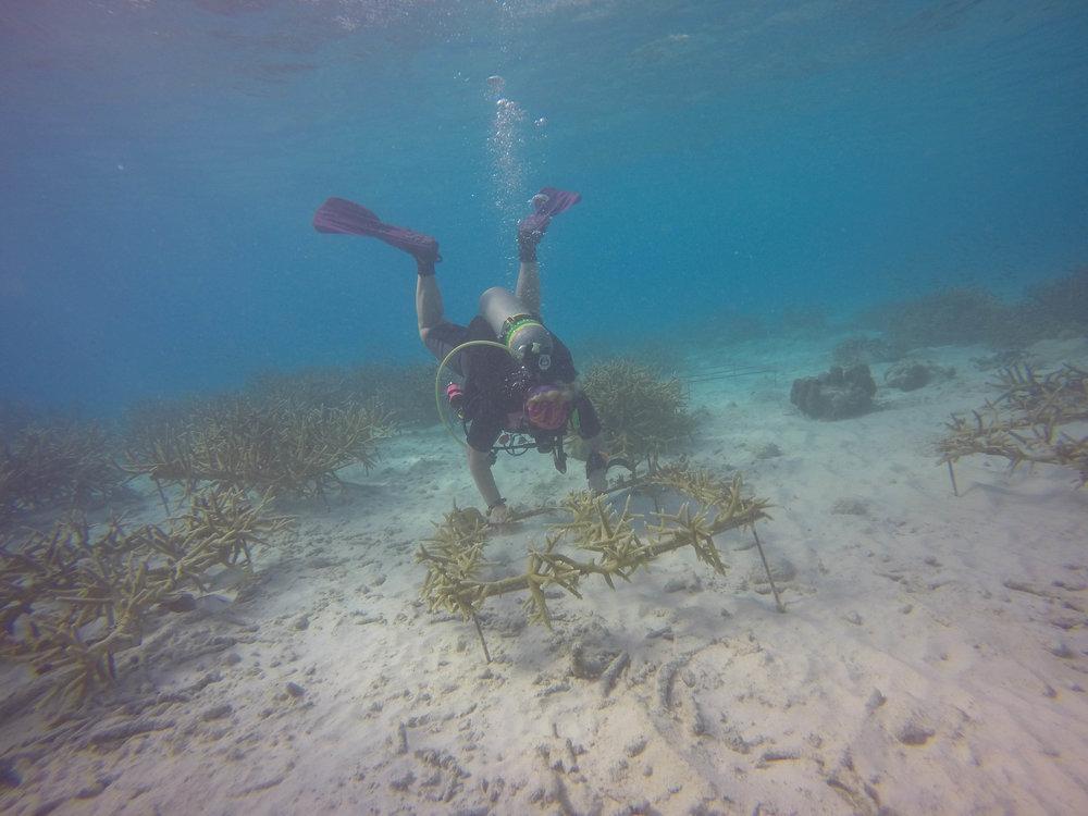 Transplanting Corals