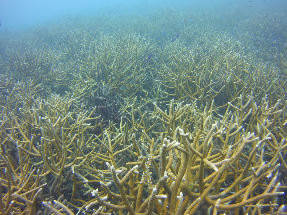 Healthy Corals, Shallow Water