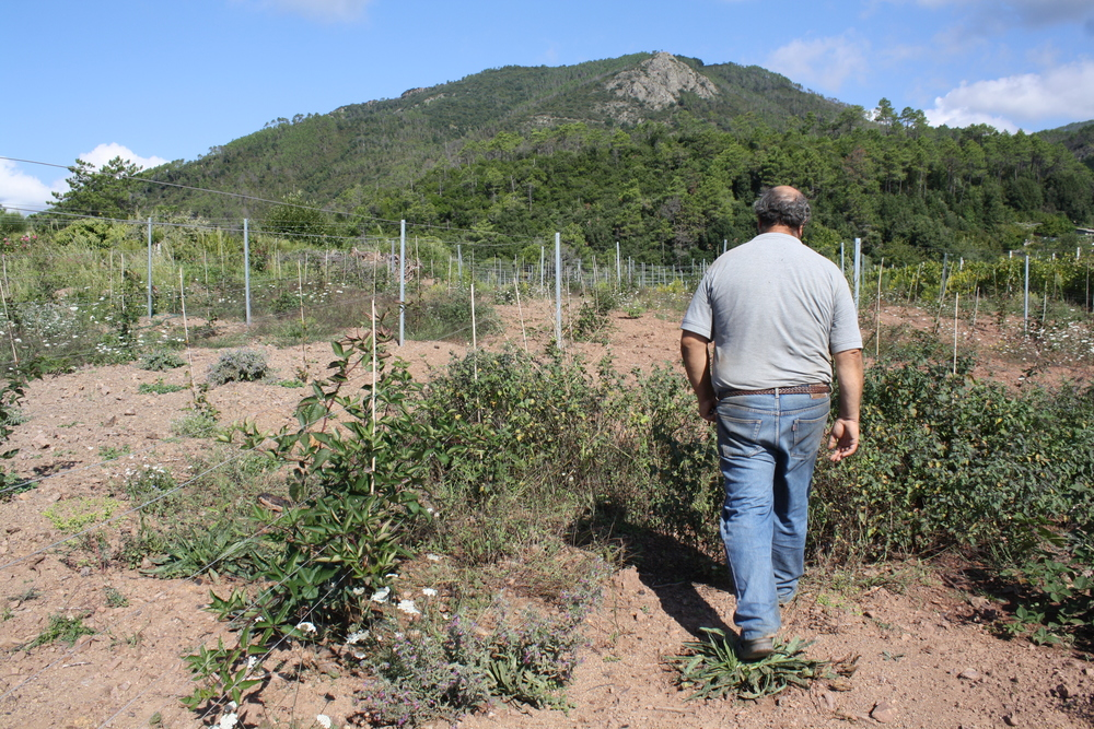 The vineyards up in the hills of Bonassola.