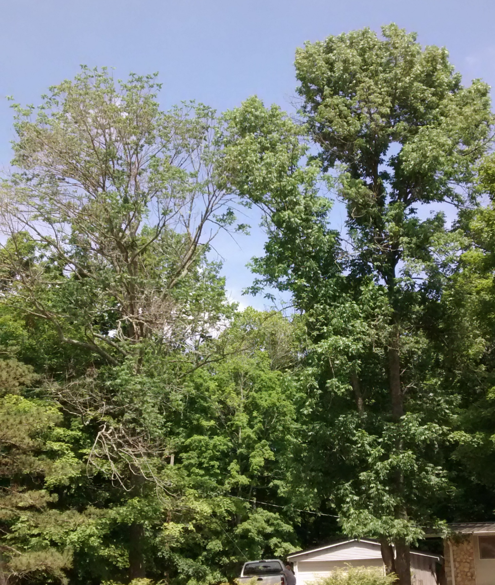 This picture illustrates the difference between treatment and no treatment. The thin, sickly looking ash on the left WAS NOT treated for EAB. The more fully crowned ash on the right WAS treated for EAB. Picture taken one year after initial treatment.
