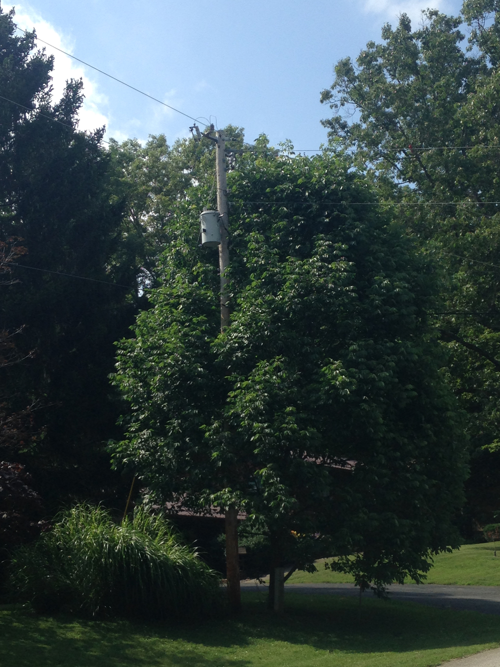 This is an example of an ash that is not worth saving. (Vigorous and healthy, yes, but it's underneath a powerline.)  This tree will be topped to keep out of Powerlines, so investment in treatment is not recommended. In fact, this tree should be removed.