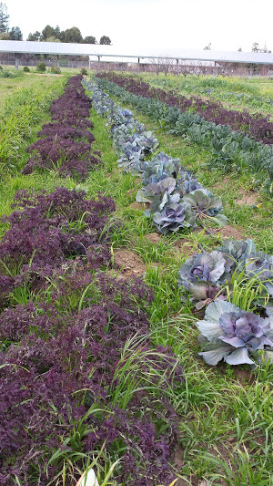Row of purple cabbage