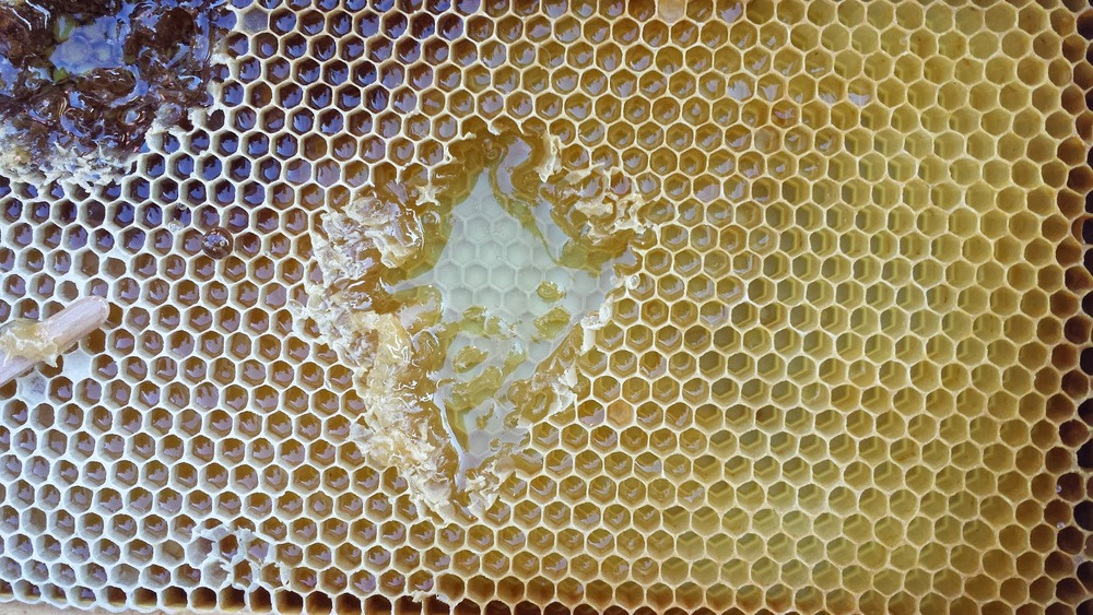 Frame with Hexagonal bee wax filled with honey