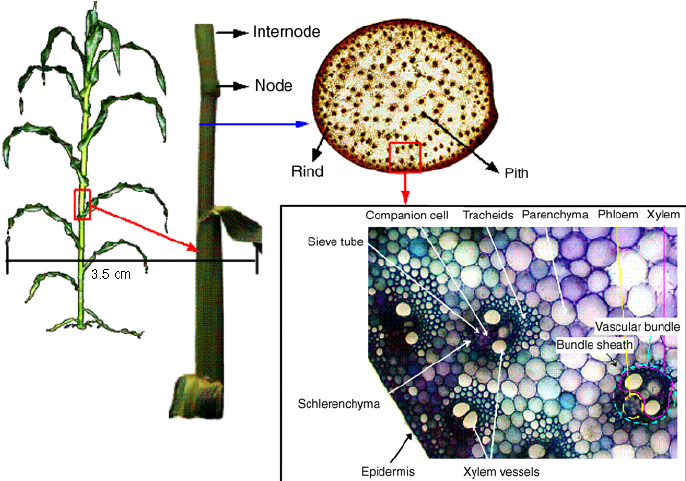 corn-stem-anatomy.png