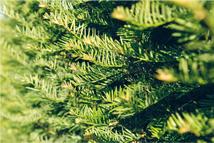 Taxus baccata  Heckenpflanze mit Ballen Höhe: 180/200cm, Breite: 50cm Länge nach Wahl