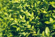 Buxus sempervirens Latifolia  Heckenpflanze mit Ballen Höhe: 150cm, Breite: 50cm Länge nach Wahl