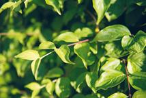 Cornus mas  Heckenpflanze mit Ballen Höhe: 200cm, Breite: 50cm Länge nach Wahl