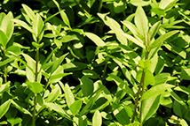 Liguster vulgare Atrovirens  Heckenpflanze mit Ballen Höhe: 150/180cm, Breite: 50cm Länge nach Wahl