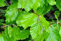 Fagus sylvatica  Heckenpflanze mit Ballen Höhe: 150/180cm, Breite: 50cm Länge nach Wahl