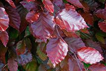 Fagus sylvatica Atropunicea  Heckenpflanze mit Ballen Höhe: 150/180cm, Breite: 50cm Länge nach Wahl