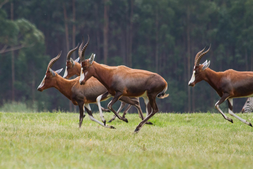 Antelope on the Estate