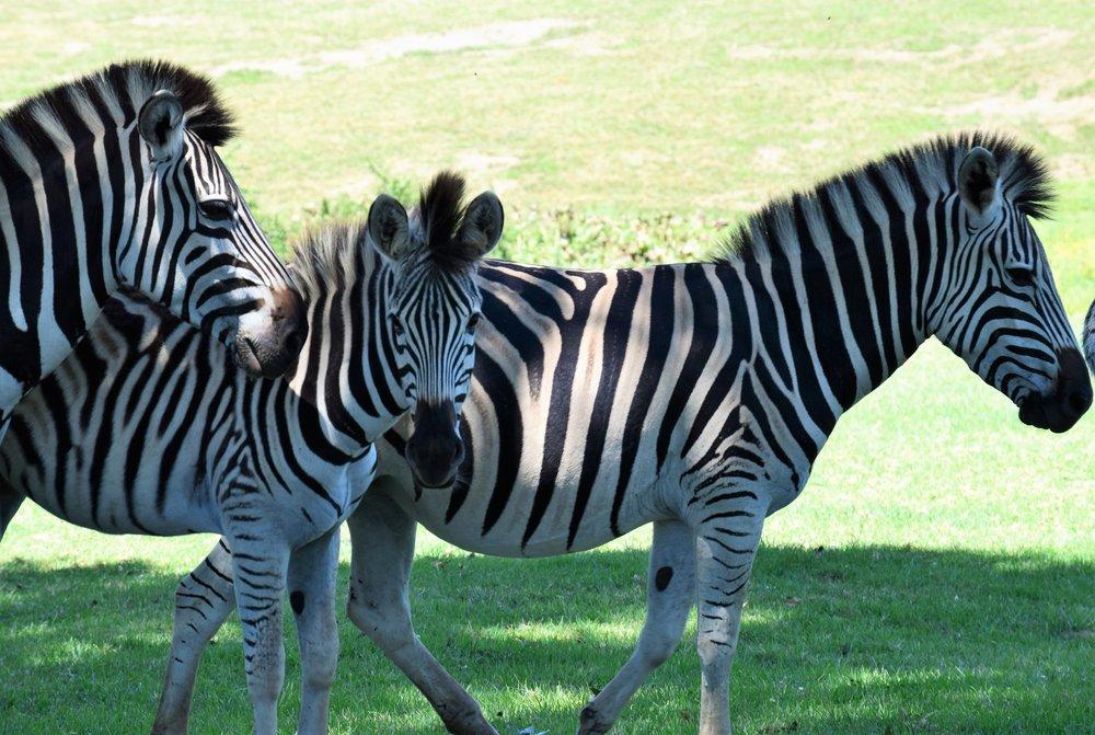 Zebra on the Estate