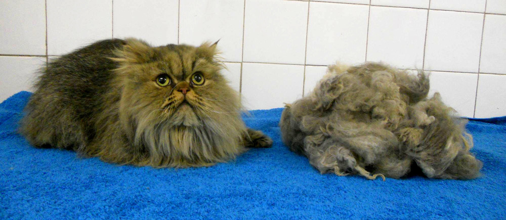 """I have two long haired Persians which both go to Topdog four times a year for a bath, groom and tummy shave. One of my cats is extremely scared of people yet when we pick them up he is very calm and always looks amazing Would highly recommend to other long haired cat owners"" - Gina Flannigan (Harry & Lilly)"