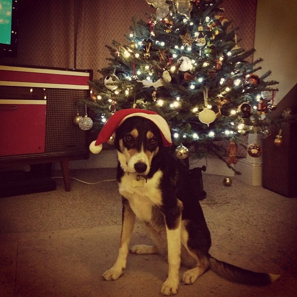 Xmas tree is ready and so is Lana… Lol. #dogs #doggie #collies #xmas #dressup #london #training #lana #photography #sweet #funny