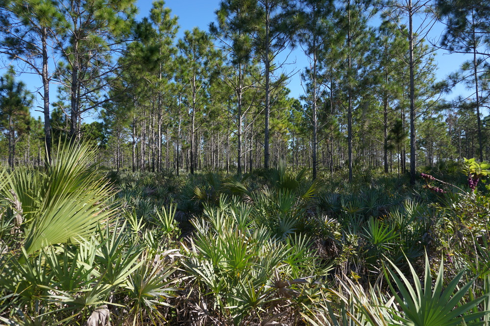 Pine rocklands. Photo by Daniel Ward.