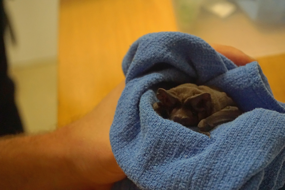 Bruce Wayne, a baby bonneted bat under the care of Dr. Frank Ridgley at Zoo Miami. Bonneted bats rely on the pine rockland ecosystem. Photo by Daniel Ward.
