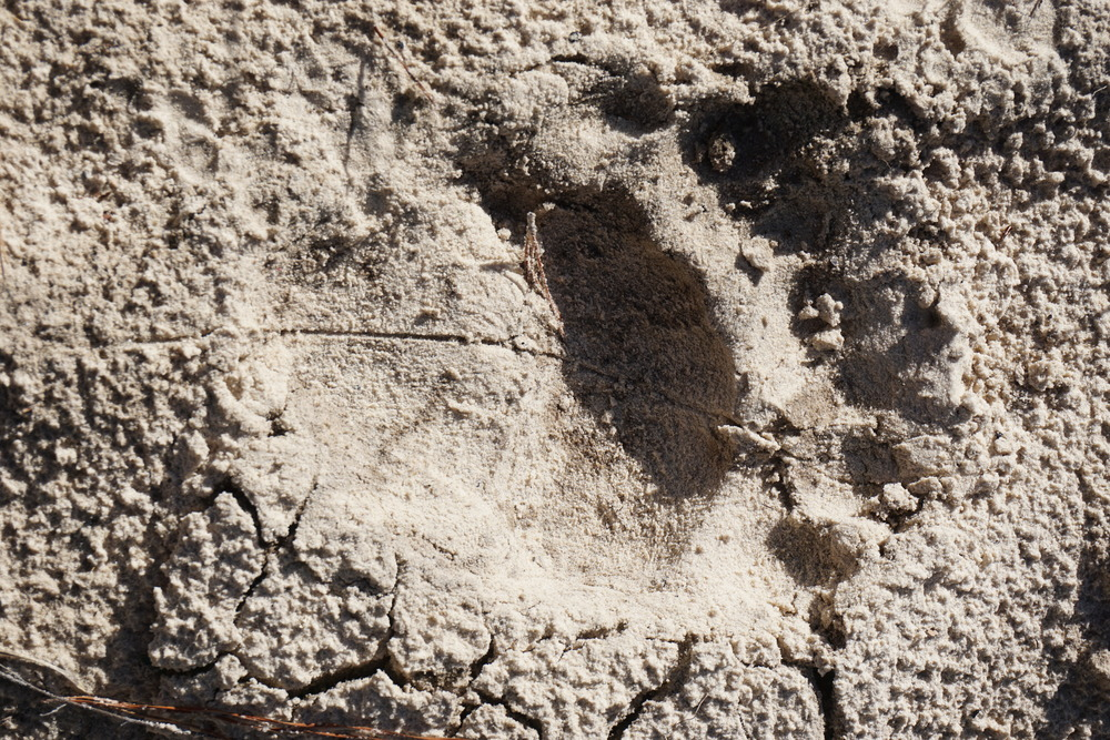 Bear tracks near the Williams' border. Photo by DCW.