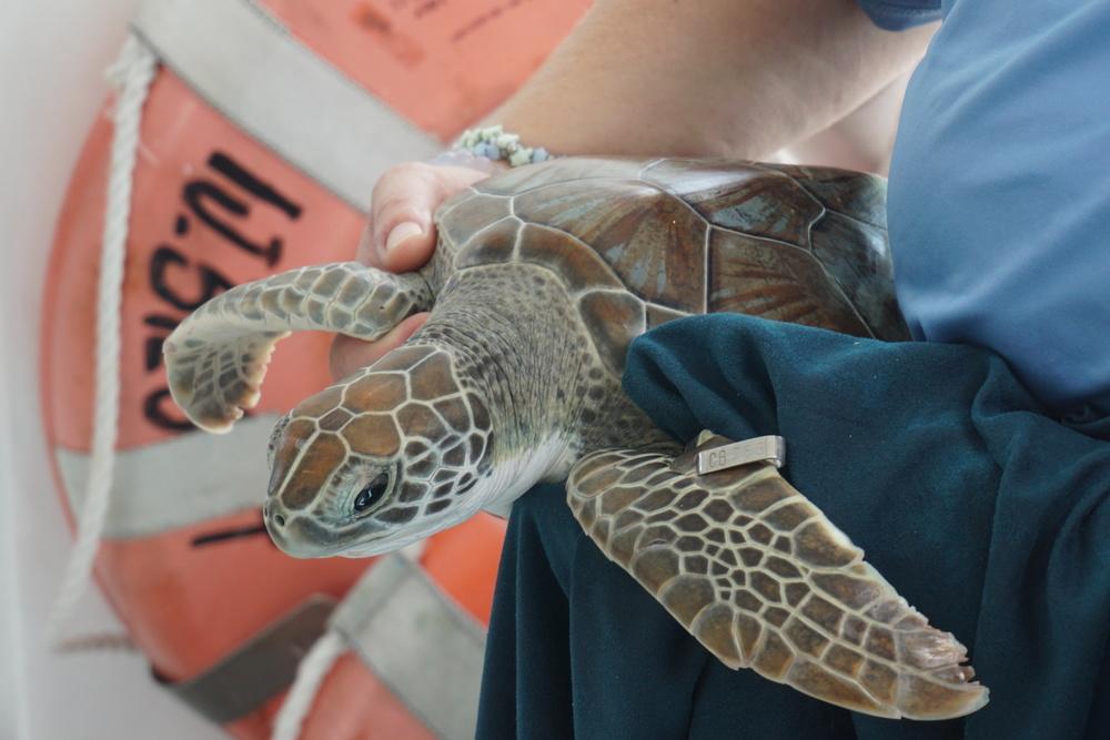 Dr. Brooke Burkhalter prepares a juvenile turtle for release. Photo by Daniel Ward.